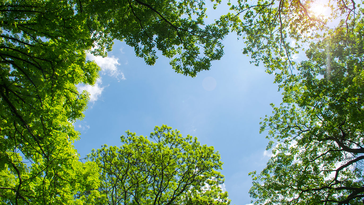 looking up through leafy green trees at a clear blue sky