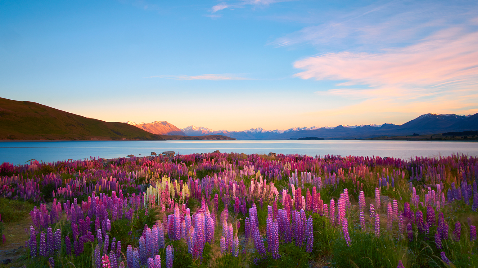 Purple wildflowers by a mountain lake at sunrise