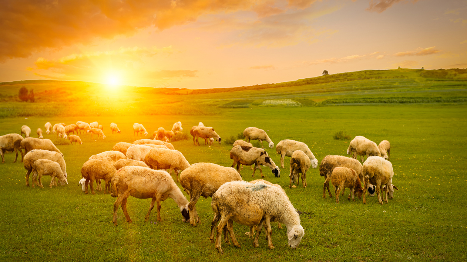 A herd of sheep in a sun-drenched field
