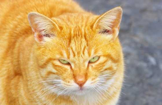 close-up of an orange tabby cat.