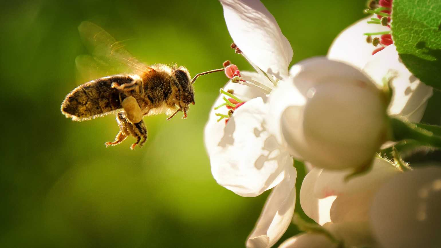 A single honey bee flying to a white flower.