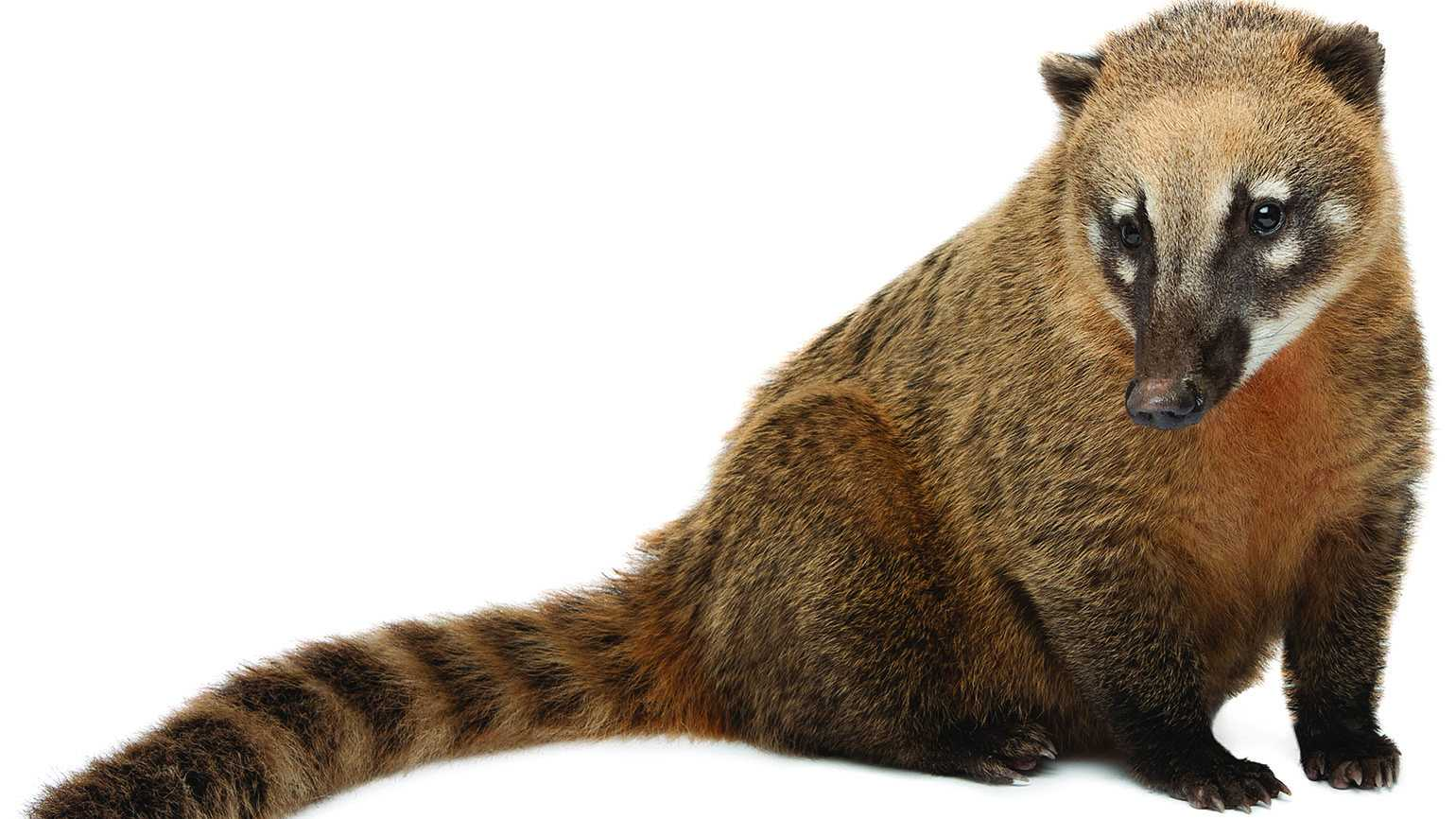 Coati, member of the raccoon family