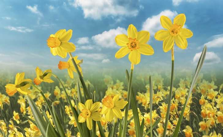 daffodils blooming in the spring