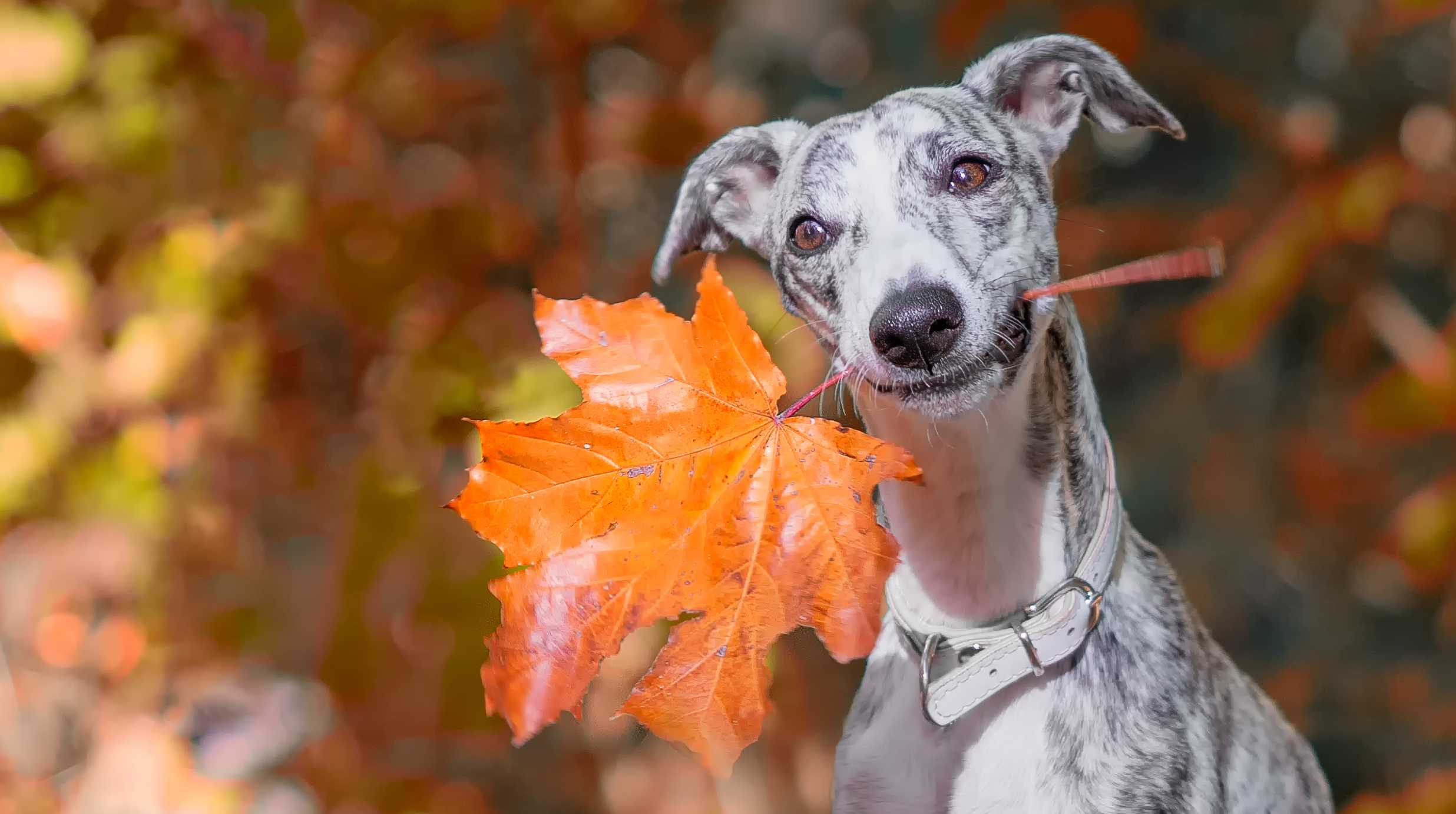 A dog with a large autumn leaf in his mouth