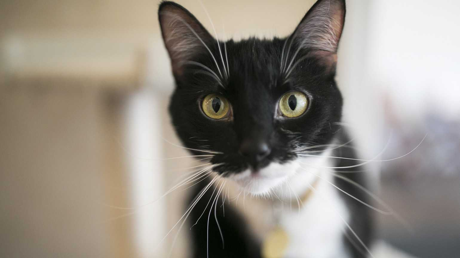 A headshot portrait of a black and white cat. Photo credit: Maddie McGarvey