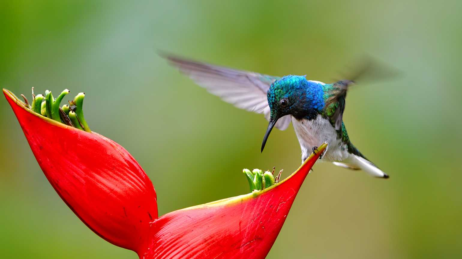Close-up of a white-necked jacobin drinking nectar from a flower. This species is also known as great jacobin or collared hummingbird.