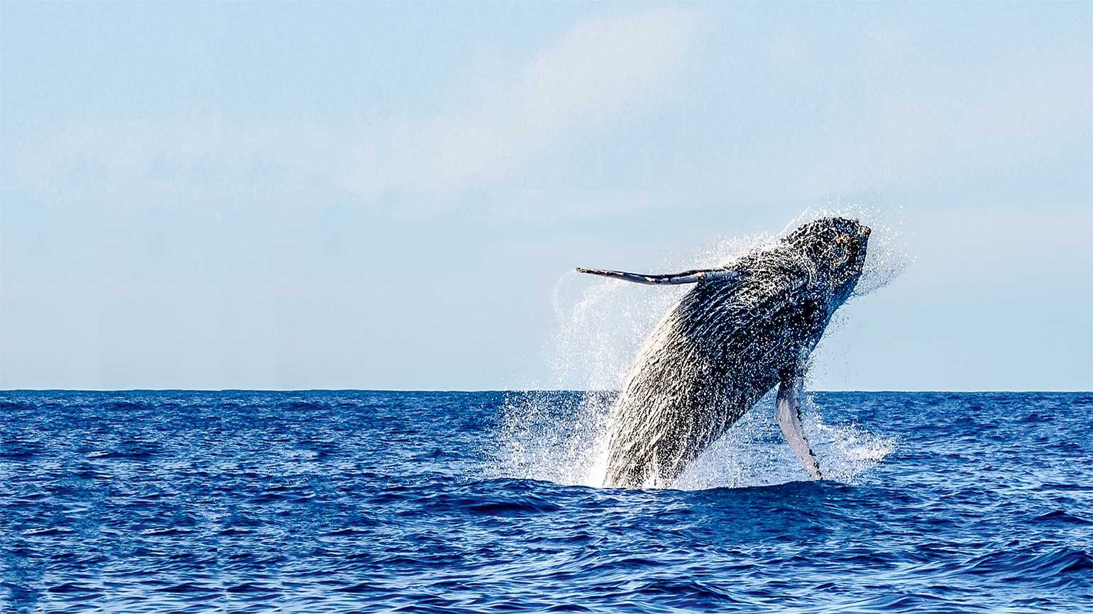 California Grey Whale breaching; photo by Larry Pannell/Getty Images
