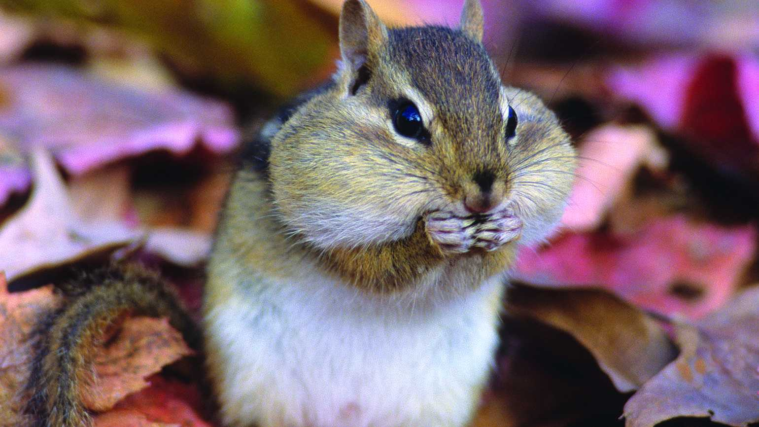 Chipmunk recharging during winter