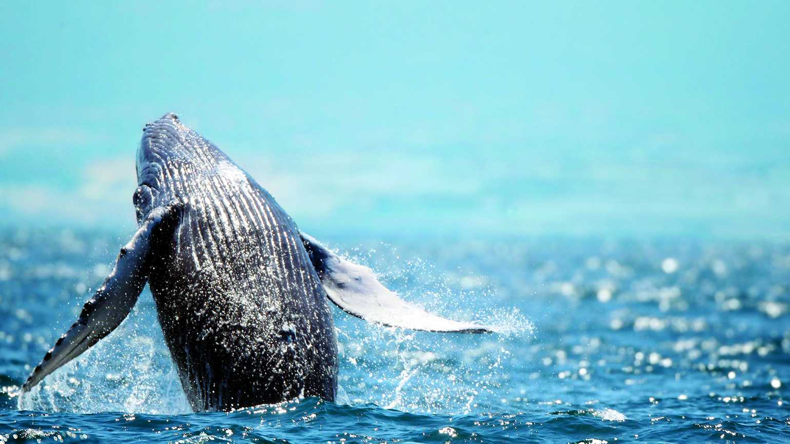 A majestic humpback whale breaching in the blue waters of the ocean.