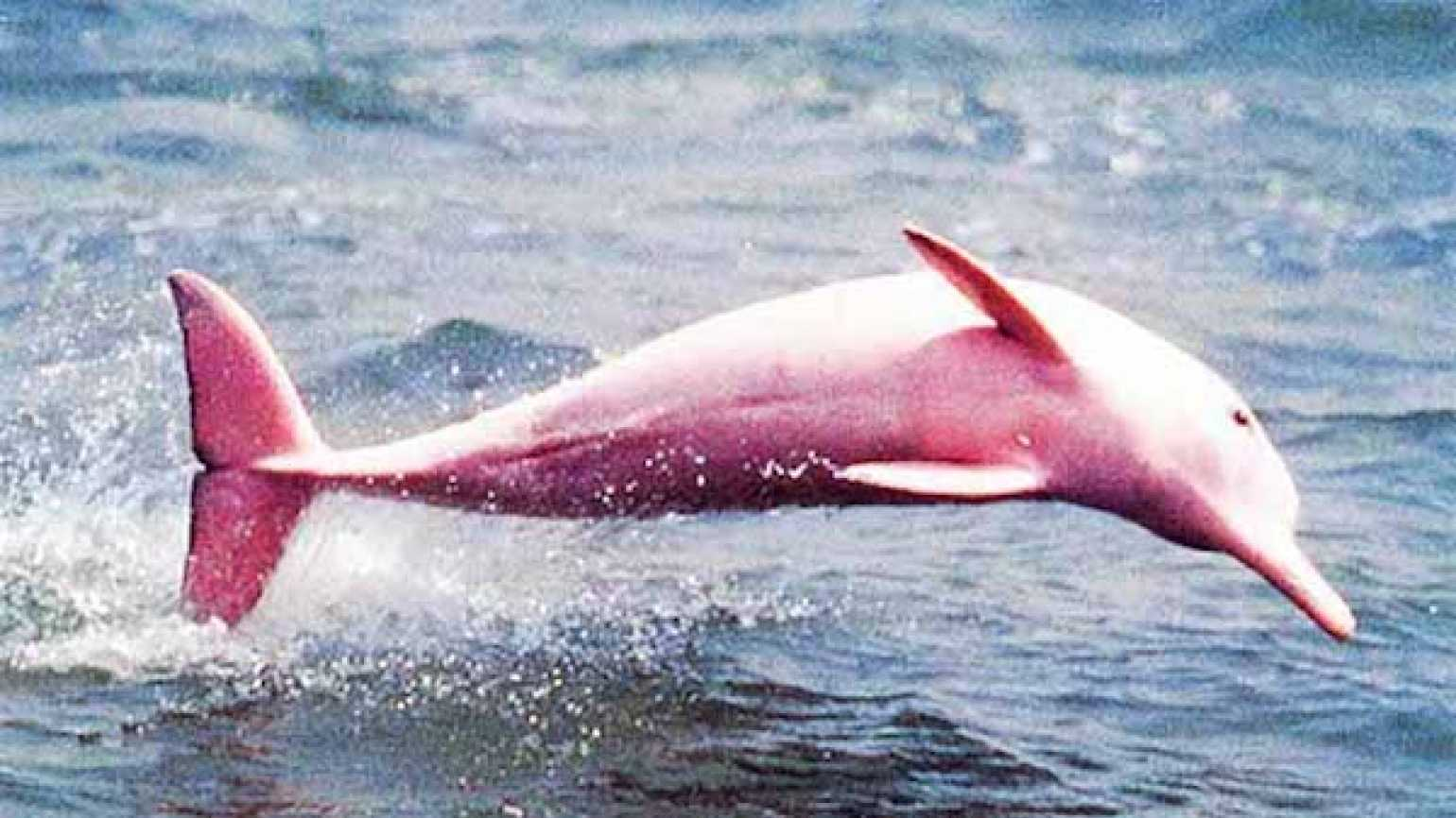 The pink dolphin spotted in Louisiana.