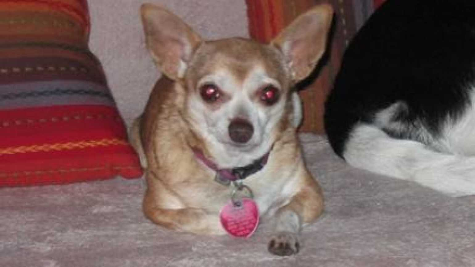 Daisy, the missing Chihuahua who was found thanks to the power of prayer