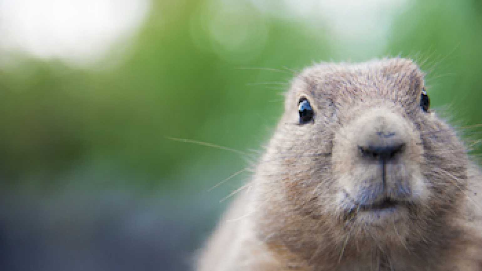 A groundhog. Photo by Ingevd Meeberg, Thinkstock.