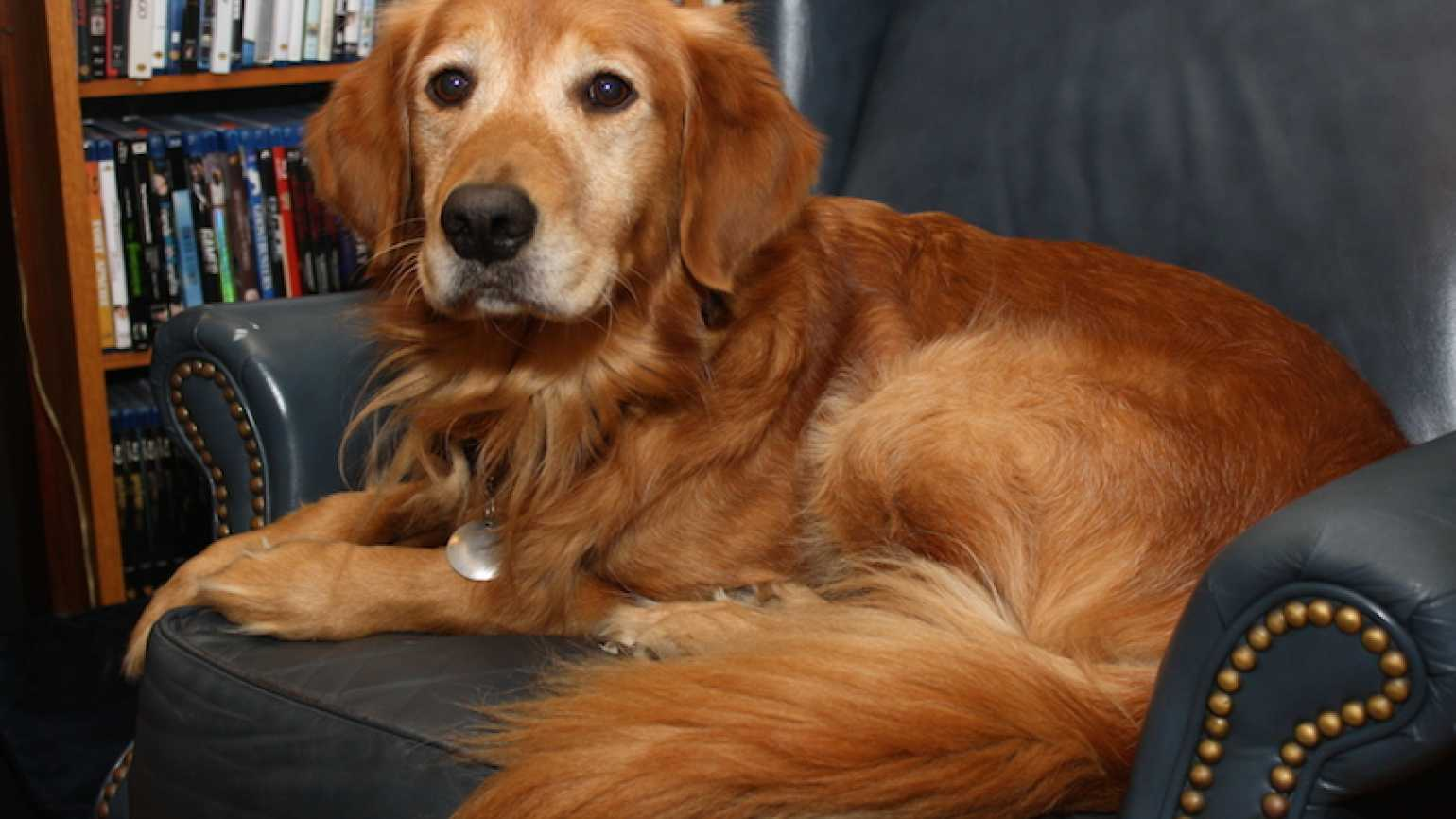 Ike the Golden Retriever at home