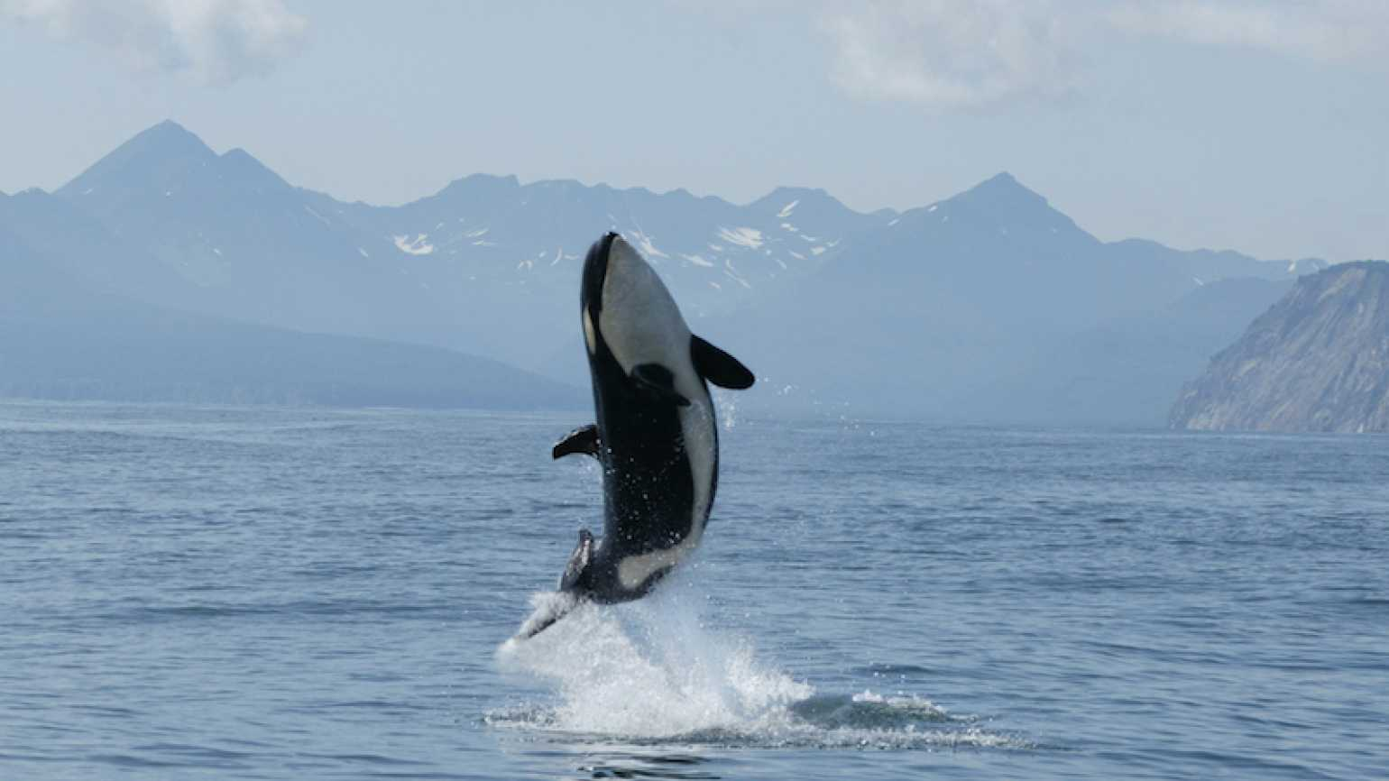 An orca whale leaping. Photo by Tatiana Ivkovich for Thinkstock.