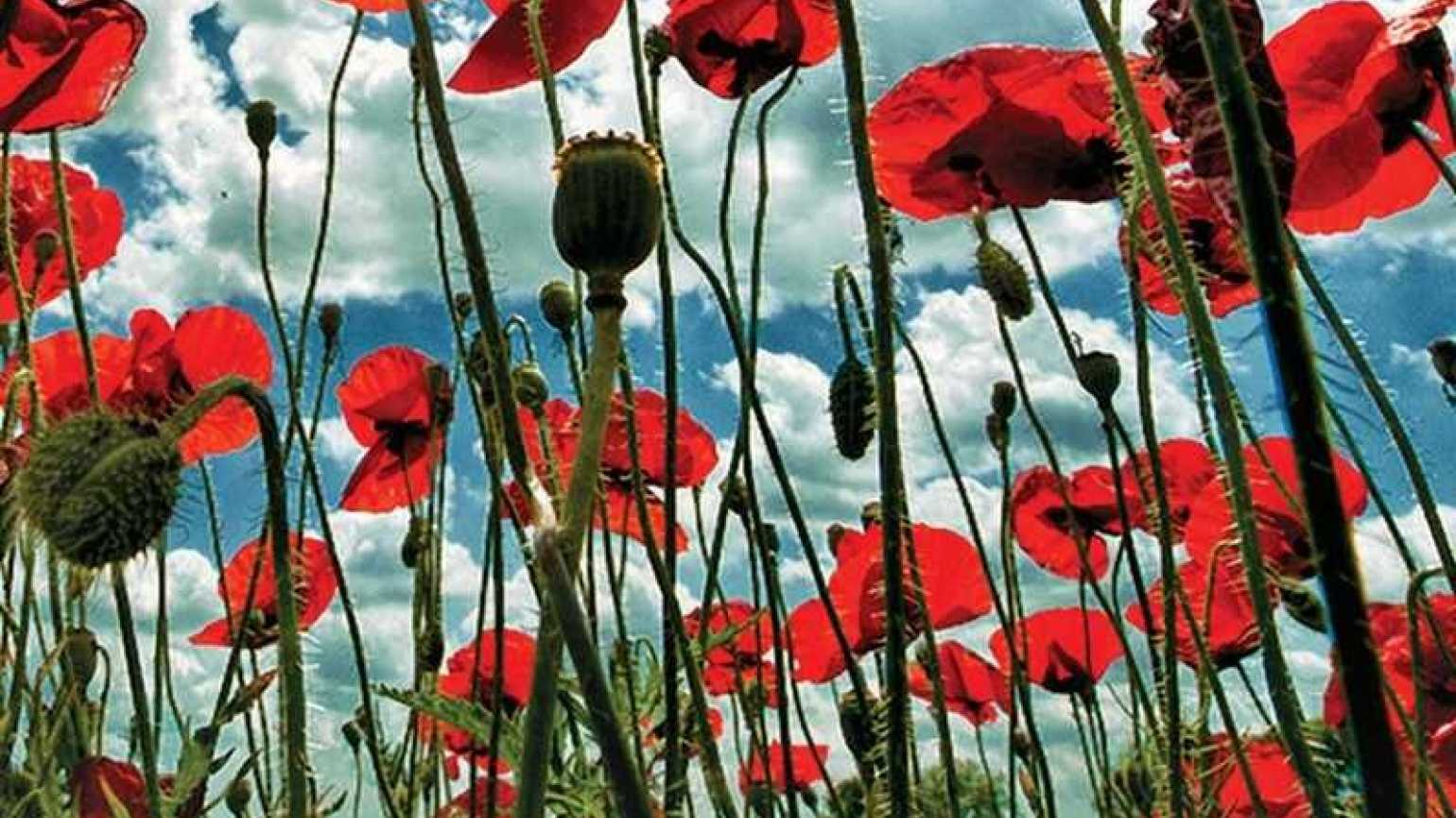 A field of red poppies with a blue sky and white clouds above them