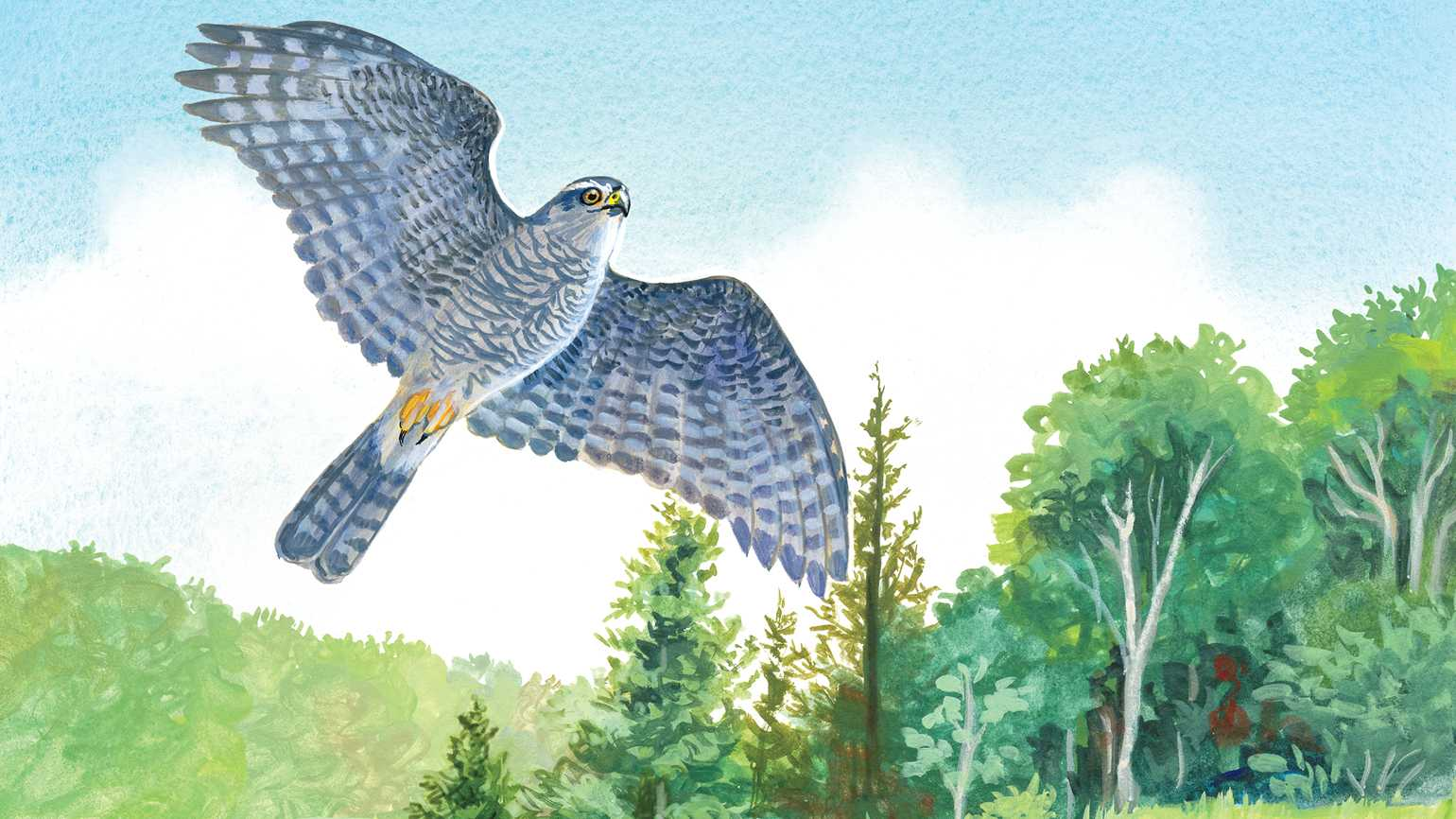 An artist's rendering of a goshawk in flight; Illustration by Christina Wald