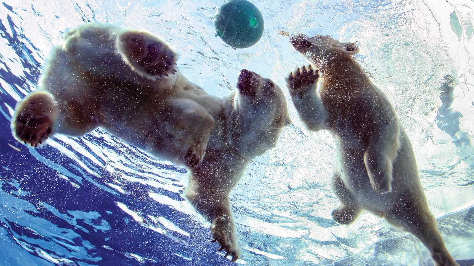 Talini (R), a 9-month old 160-pound polar bear cub swims with her mother Barle.
