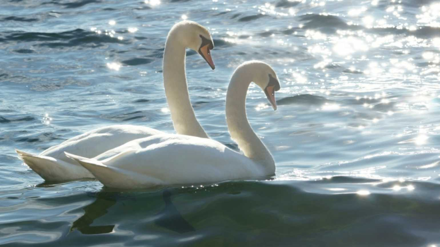 Pair of swans symbol for Lent