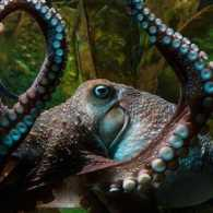 Inky, a very smart escape artist octopus from New Zealand