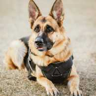 K9 veterans, dogs who serve in the military