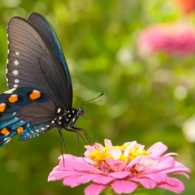 Beautiful butterfly resting on a zinnia