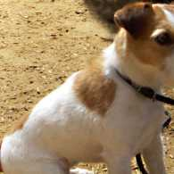 A Jack Russell Terrier