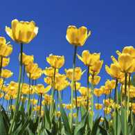 Spring tulips. Photo by iSailorr, Thinkstock.