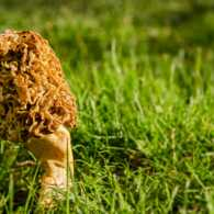 A morel mushroom growing in the grass