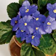 A small flower pot containing African violets