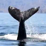 The young humpback's tail emerges from the water.