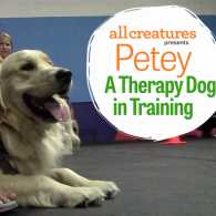 Petey the therapy dog in training.