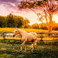 Palomino horse in the sunset