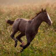 Playful foals chase each other through the pasture.