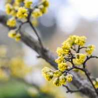 Tree branch filled with spring buds
