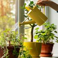 A woman uses a watering can to care for her plants; Getty Images