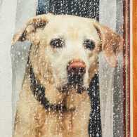 A lonely Labrador staring out of a rainy window.