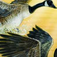 A Miraculous Pair of Geese Appear Just in Time for Spring