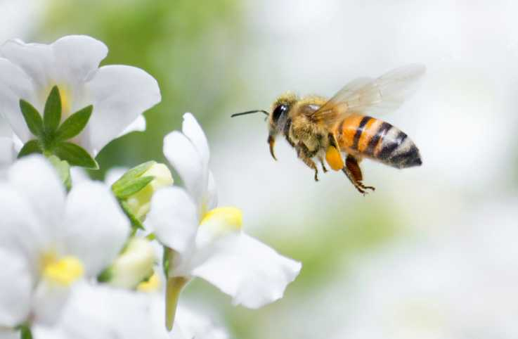Honeybee flying to white Nemesia flower; Getty Images