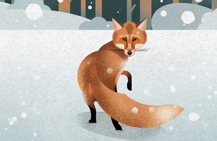 A fox in snow. Illustration by Dieter Braun