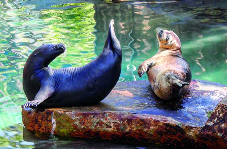 Rescued harbor seals Billy (left) and Gracie