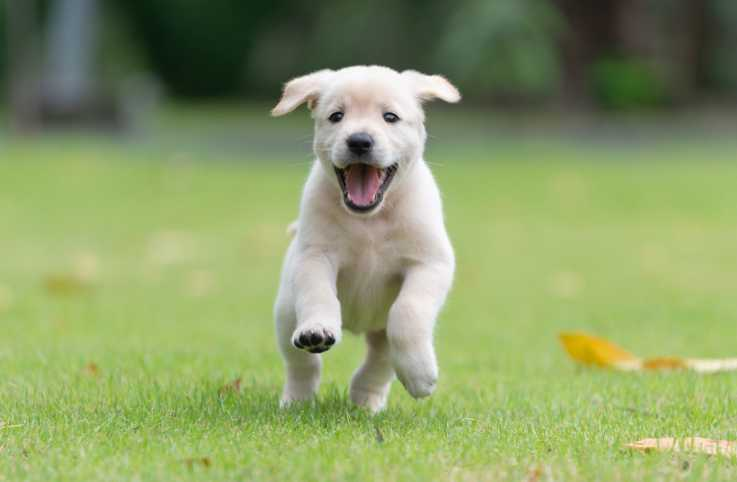 Excited puppy running on grass; Getty Images