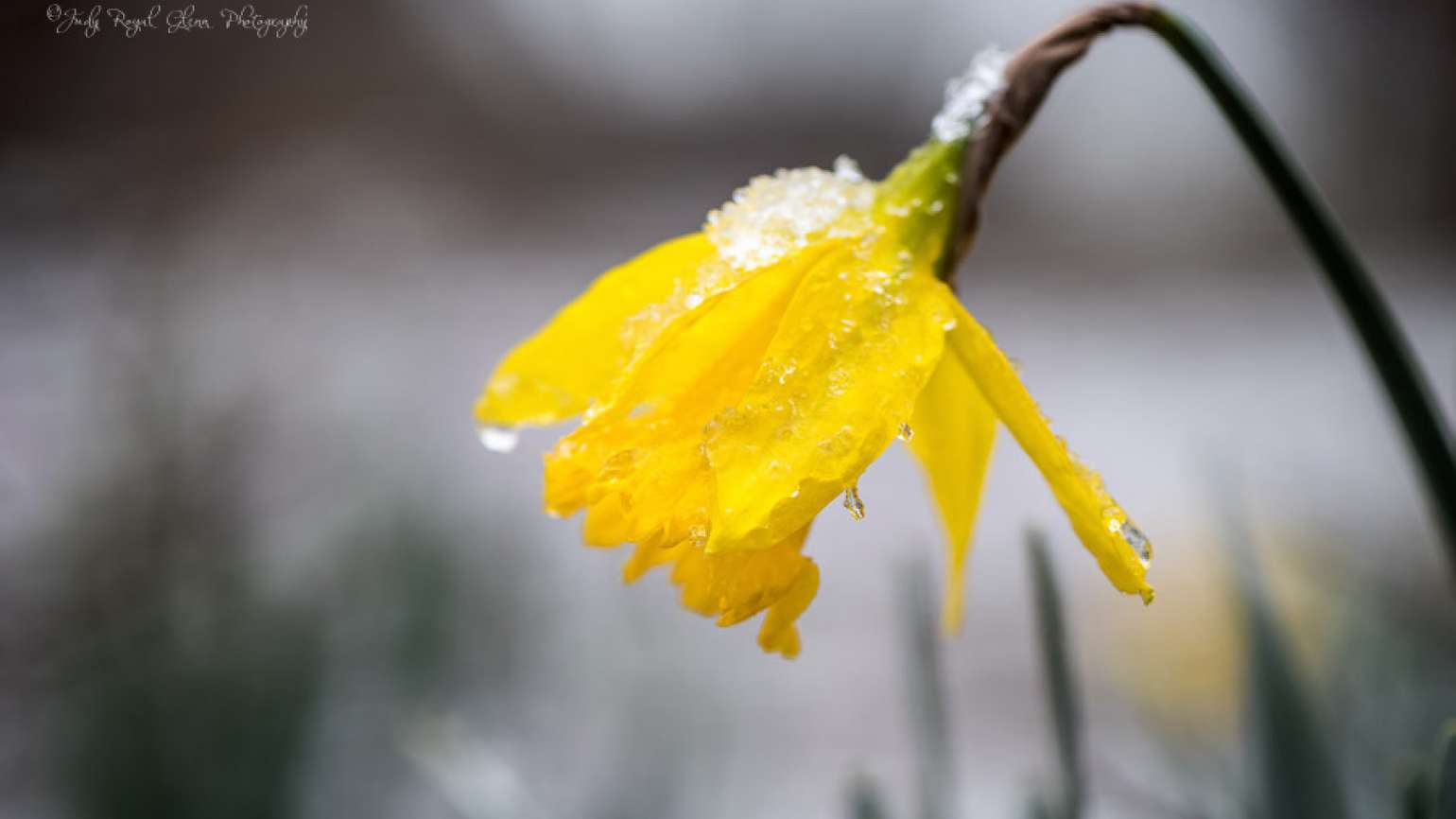 Drooping daffodil in the snow. Photo by Judy Royal Glenn.