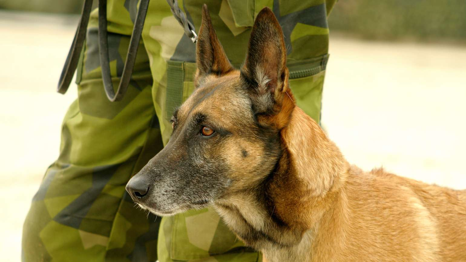 K9 Veterans Day honors our military dogs.