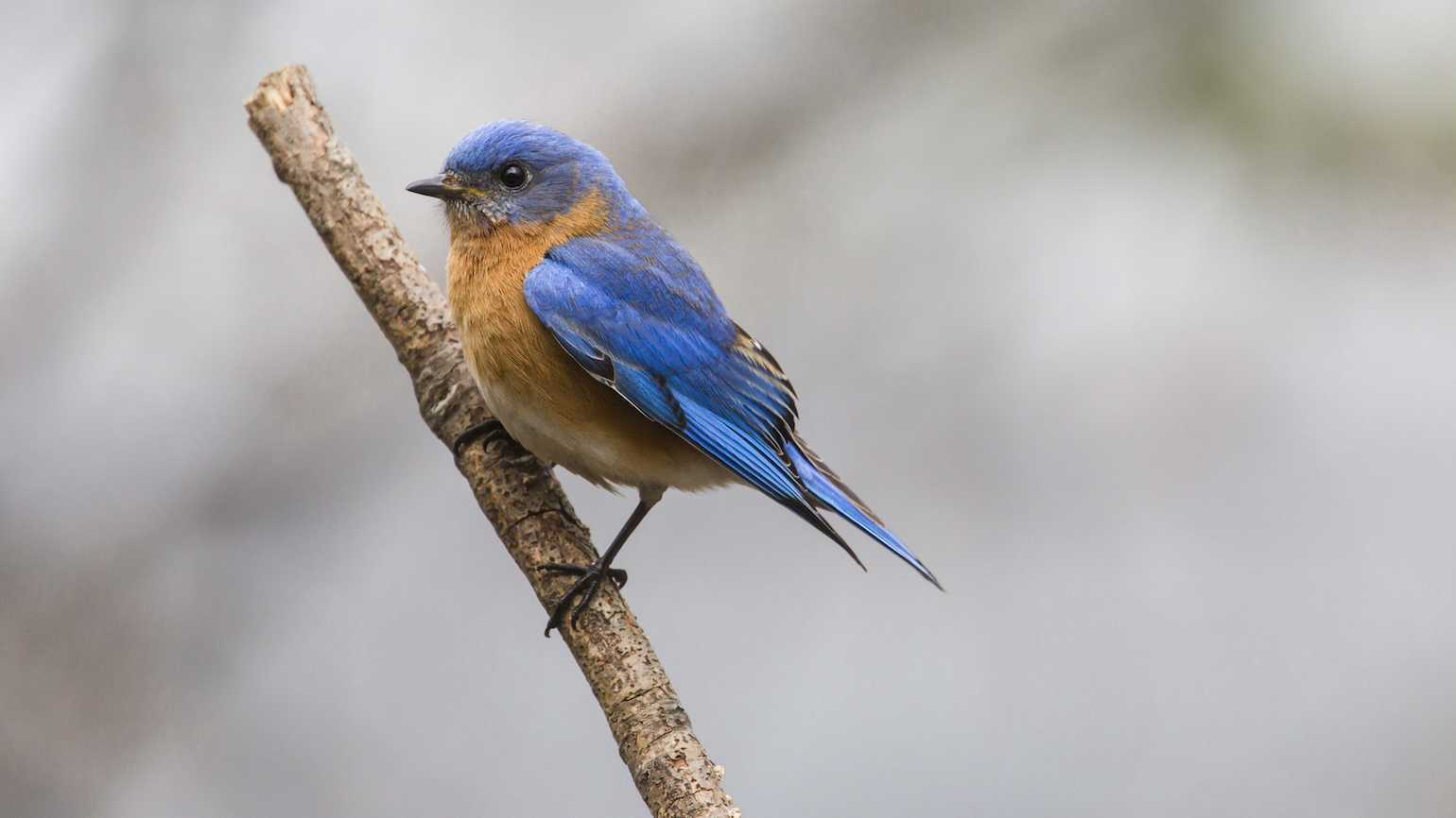 Bluebird of happiness may be real.