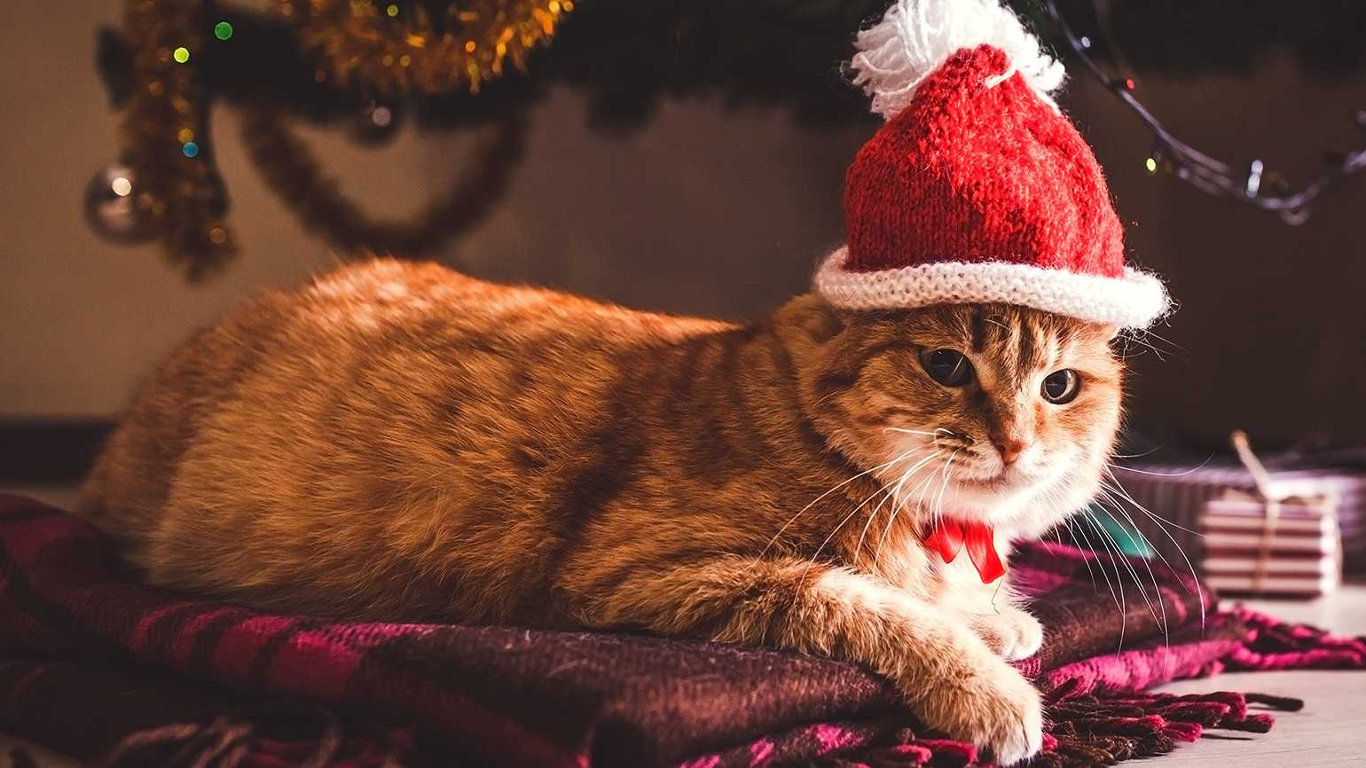 A Christmas cat