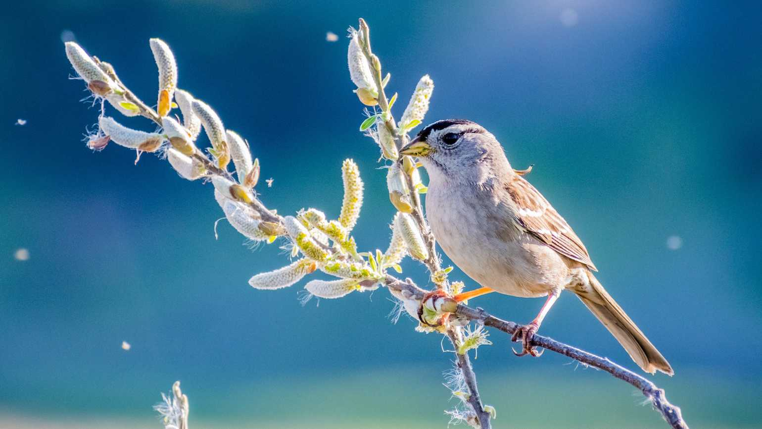 Sparrow in the spring