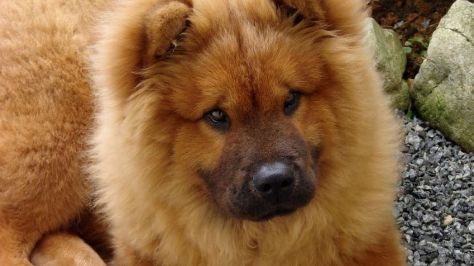 Adorable chow-chow puppy