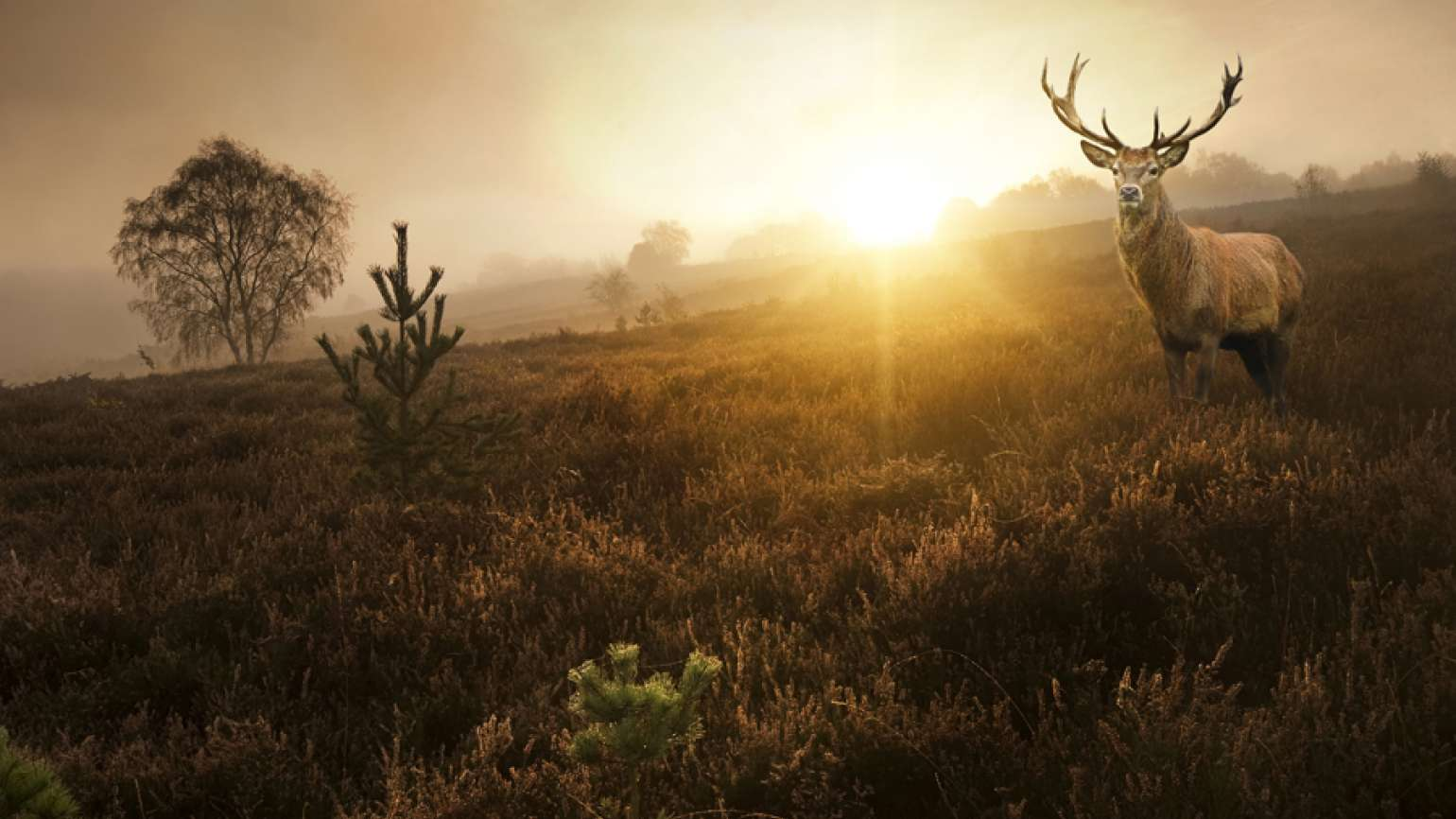 Deer in a meadow at sunset