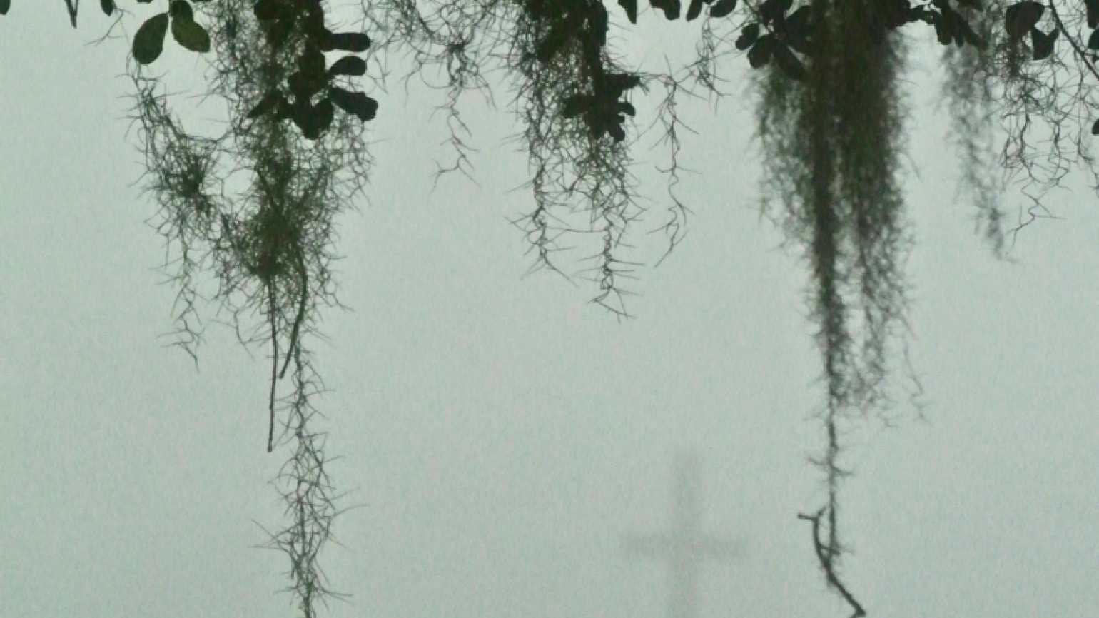 Vines dripping from a tree in the fog with a cross in the background