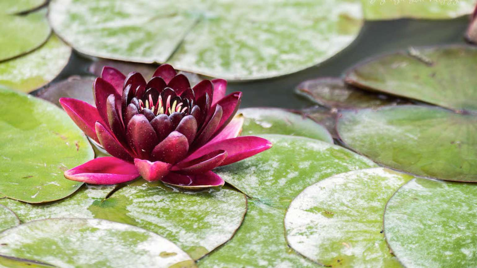 Photo of a water lily at Biltmore Estate, by Judy Royal Glenn